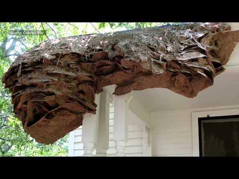 USA: In Alabama bauen Wespen plötzlich gigantische Ne ...