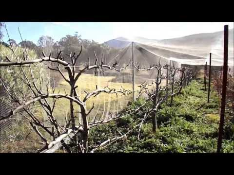 Pruning Espaliered Apple Trees – Part One
