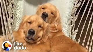 5 Things Every Golden Retriever Owner Knows | The Dodo by The Dodo