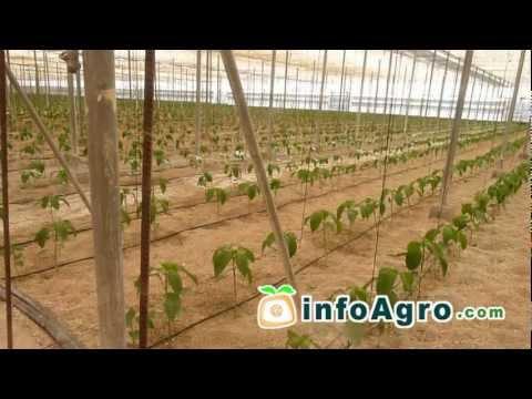 Cultivo del pimiento. 1ª parte (Chile, Ají, Morrón)