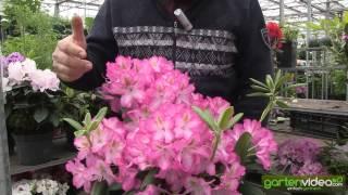 #1145 Rhododendron Hybride Campanile
