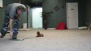 Ohio Puppy Training: Toy Poodle  Http://aztecdogtraining.com/