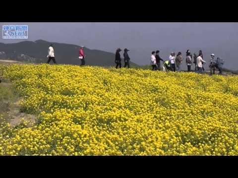 高原の黄色いじゅうたん あわじ花さじき