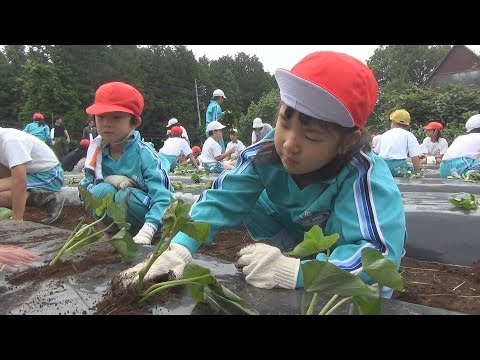 笠間市の小学校でサツマイモの苗植え体験