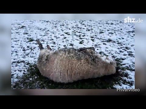 Jede Minute zählt: Wie Schafe-Schubsen Leben retten k ...