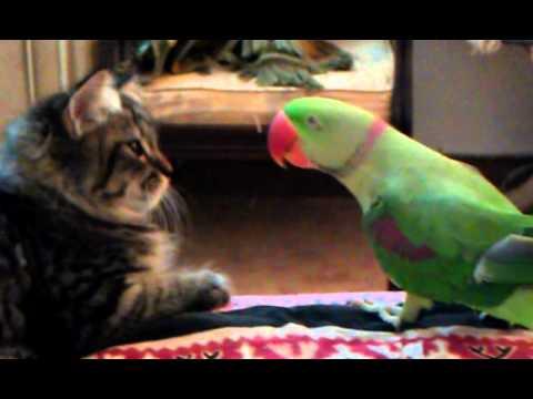 Perroquet imitant le miaulement pour intriguer un chaton