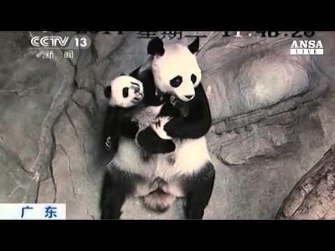 baby panda incontra la sua mamma per la prima volta!
