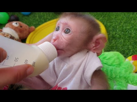 A beautiful Aba Baby Monkey Look at Daddy Provide the Milk for recognize