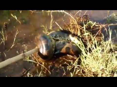 Cobra Sucuri Mata Cachorro em Nova Guataporanga