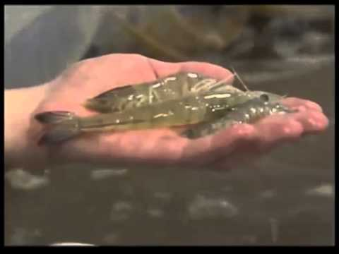 Shrimp Farm Comes to the Cedar Valley clip