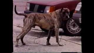 Documental Antiguo Sobre El Presa Canario Parte 1º.