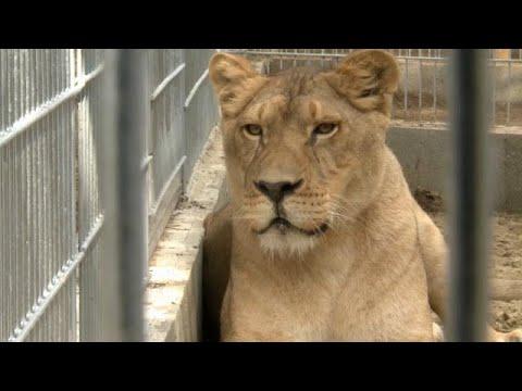 Λιοντάρια βρήκαν σπίτι στην Ουγγαρία