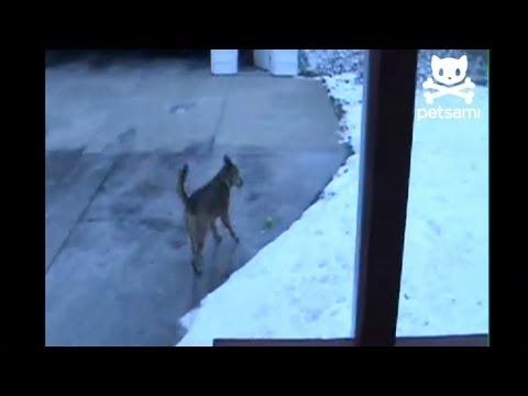 Dog can't figure out why it can't pick up a frozen tennis ball