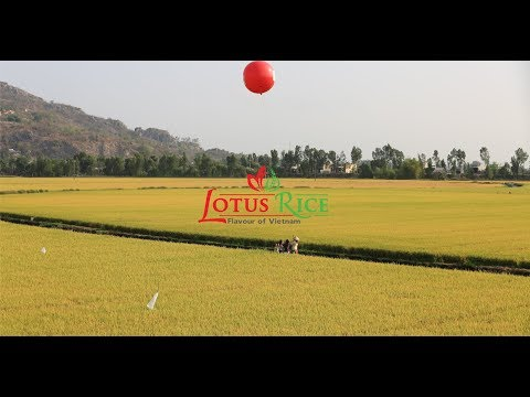 Lotus Rice - The Journey of Rice