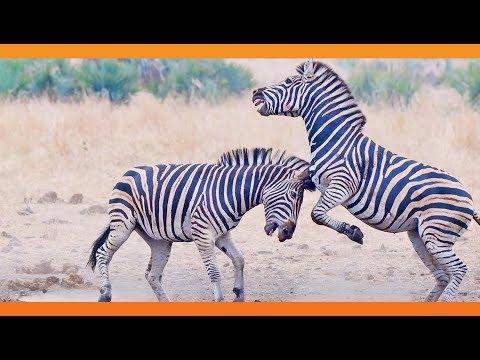 Зрелищная битва зебр у водопоя в Африке