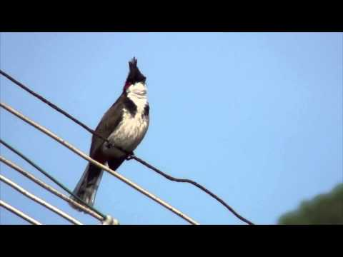 Red-whiskered Bulbul (pycnonotus Jocosus) With Calling Sound