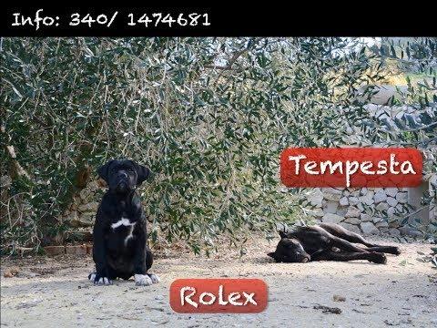 Vendita belva&rocky - cani corso