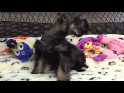 This Schnauzer Sweetheart will Melt Your Heart!