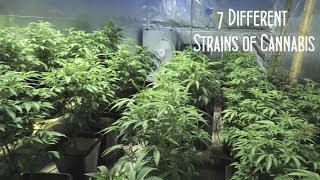 7 Different Strains of Cannabis by Urban Grower