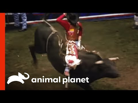 bull - Check out http://animal.discovery.com/videos/untamed-uncut-animal-attacks/?smid=YTAPC-YTD-PLP for the 10 Most Shocking Animal Attacks EVER. Terror falls upon...