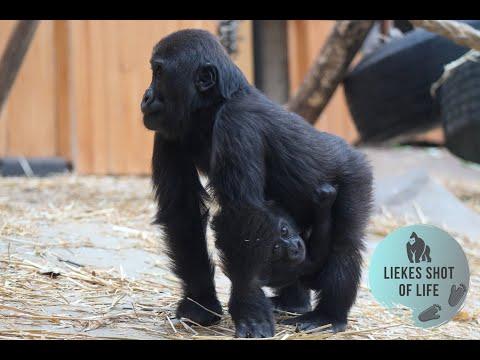 GORILLA THANDIE HOLDS HER BABY SISTER