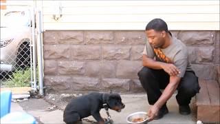 Video Aggressive Rottweiler Puppy MP3, 3GP, MP4, WEBM, AVI, FLV Agustus 2019
