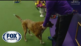 """Nonton Harley, a cancer survivor, wins 24"""" division at the 2019 WKC Masters Agility   FOX SPORTS Film Subtitle Indonesia Streaming Movie Download"""
