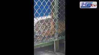 Harimau Melelang Ini Dikembalikan Ke Habitatnya
