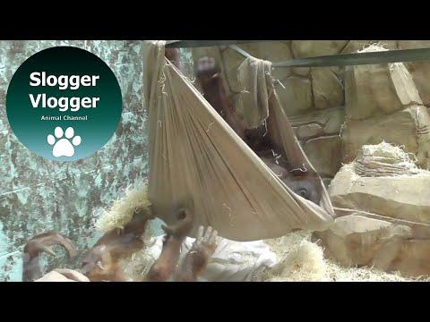 Una cría de orangután se fabrica una hamaca