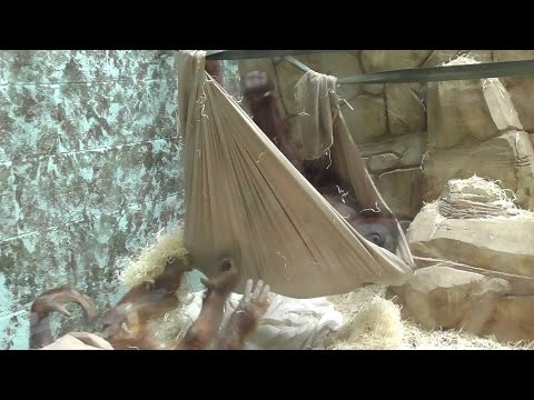 Orangutan Builds His Own Hammock