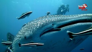 Scuba Diving - Thailand Koh Chang, HTMS Chang Wreck With Whale Shark