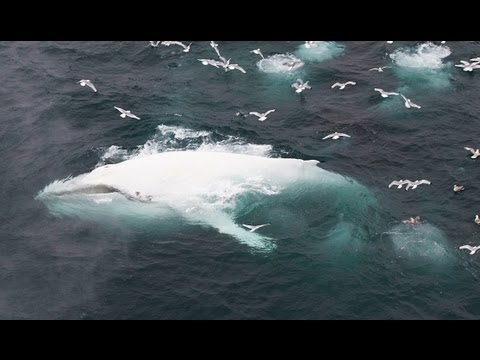 Amazing White Whale Spotted Swimming Wild in Norwegian Waters