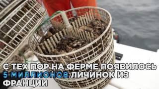 В Крыму возобновили производство устриц