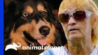 Two Dogs Reunited With Owner After She Is Rushed To Hospital | Pit Bulls & Parolees by Animal Planet