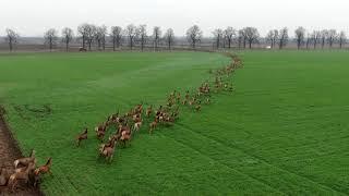 Natura jest piękna! Ogromne stado jeleni na Węgrzech.