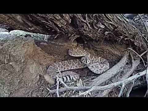Go Pro VS. Rattlesnake - Who Wins? [VIDEO]