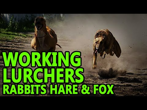 Working Lurchers ( rabbit fox hare )