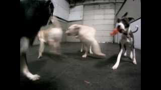 Happy Dogs Play Laser Tag At Doggie Daycare in Colorado Springs