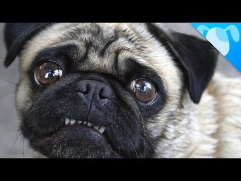 pug: special dog!