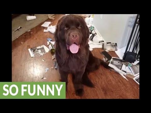 Koira sotki koko talon – Ei näyttänyt syyllisyyttään ollenkaan