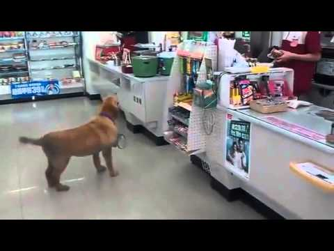會自己去便利店買東西吃的金毛犬