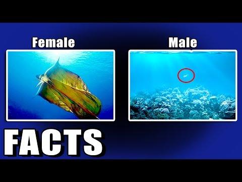 Female Blanket Octopus 40,000 Times Bigger Than Male || ARF 21 (видео)