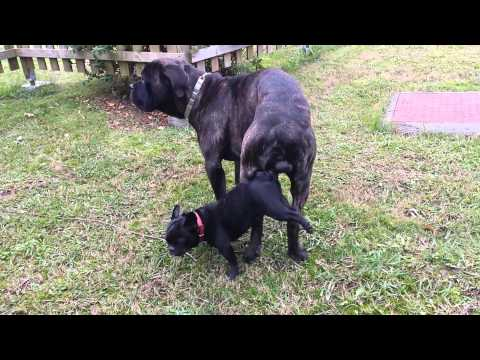 Video cane corso monta a perrita bulldog frances download in MP3, 3GP, MP4, WEBM, AVI, FLV January 2017