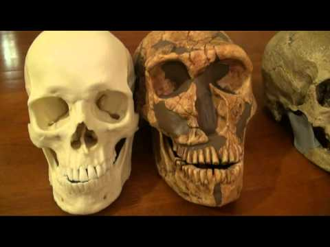 magnon - Comparison of modern human, Cro-Magnon and Neanderthal skull casts.