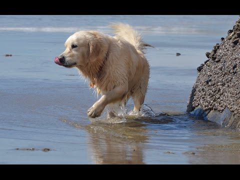 Golden Retriever divirtiéndose en las playas de California