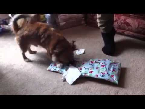 Jack Russell x chihuahua opens his Xmas present