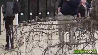 #1235 Chelsea 2013 - ausgegrabenes Wurzelwerk eines erwachsenen Obstbaumes