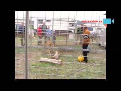 Tygr s principálem cirkusu JOJO