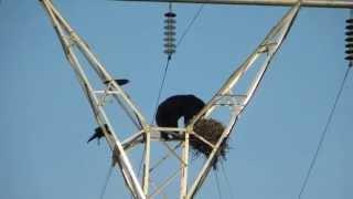 دب يصعد لقمة برج كهرباء لالتهام البيض من عش غراب