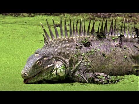 Animals Of The ABC Islands | Wild Caribbean | BBC Earth
